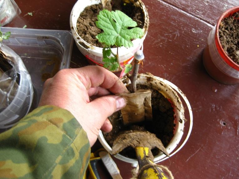 Проращивание черенков в домашних условиях 455
